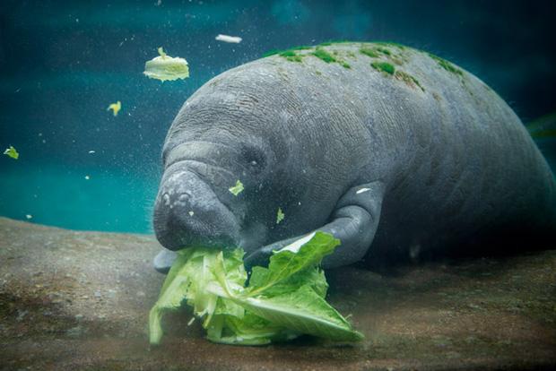 """Giải mã bí ẩn: Tại sao """"gã khổng lồ"""" lợn biển không có kẻ thù dưới đáy đại dương? - ảnh 1"""
