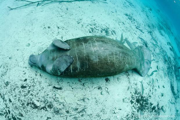 """Giải mã bí ẩn: Tại sao """"gã khổng lồ"""" lợn biển không có kẻ thù dưới đáy đại dương? - ảnh 2"""
