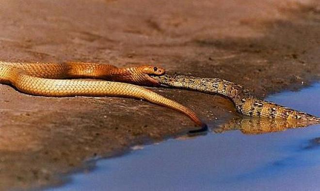 Vỏ quýt dày có móng tay nhọn: Cỗ quan tài sống đáng sợ của châu Phi cũng phải bỏ mạng vì rắn hổ mang - Ảnh 1.