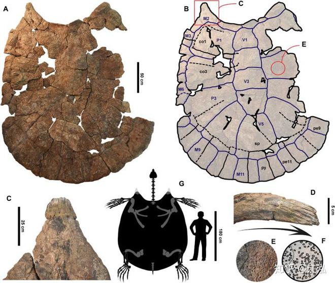 Phát hiện loài rùa cổ đại lớn nhất từng tồn tại trên Trái Đất - Ảnh 5.