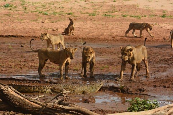 Cá sấu bị cả đàn sư tử quây đánh dữ dội, buộc phải lao xuống nước tháo chạy - Ảnh 1.