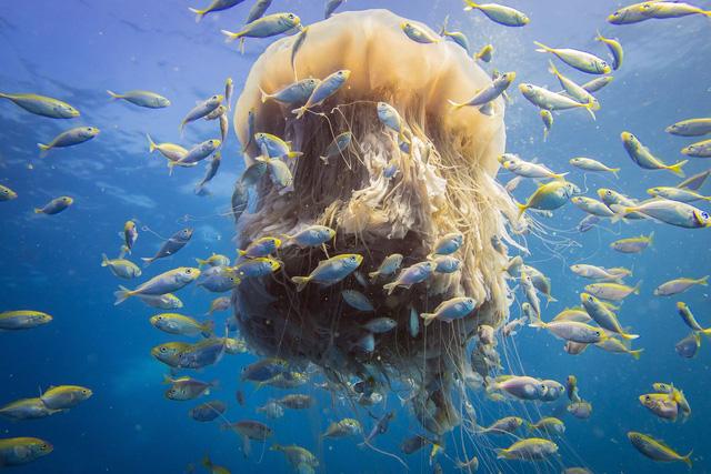 Top 6 điều thú vị về loài sứa, điều cuối sẽ khiến bạn bất ngờ đấy (P.2) - Ảnh 2.
