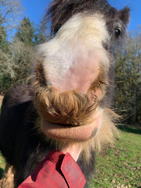 Không chỉ con người mà ngựa cũng có thể mọc ria mép đẹp như bộ ria của những quý ông - Ảnh 1.