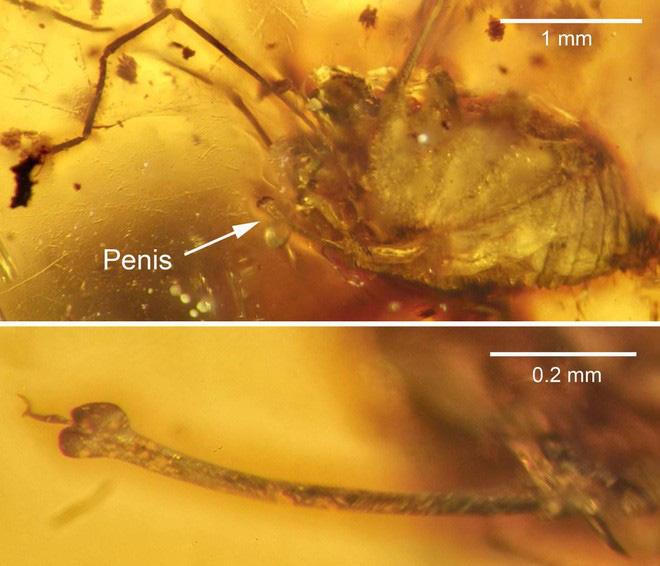 Hai cá thể ruồi đang quan hệ thì bị dính nhựa thông, mắc kẹt trong tư thế nhạy cảm suốt 41 triệu năm - Ảnh 1.