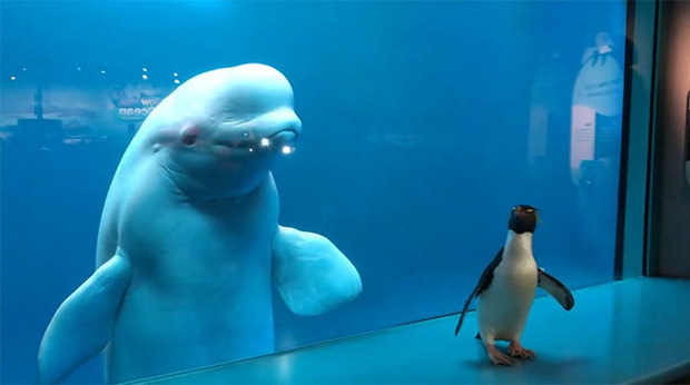 Cuộc gặp gỡ hiếm có khó tìm mà yêu không chịu nổi của đại diện Nam Cực và Bắc Cực: Chim cánh cụt đi lang thang trong thủy cung đóng cửa bắt gặp cá voi trắng - Ảnh 1.