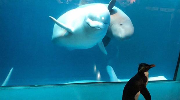Cuộc gặp gỡ hiếm có khó tìm mà yêu không chịu nổi của đại diện Nam Cực và Bắc Cực: Chim cánh cụt đi lang thang trong thủy cung đóng cửa bắt gặp cá voi trắng - Ảnh 5.