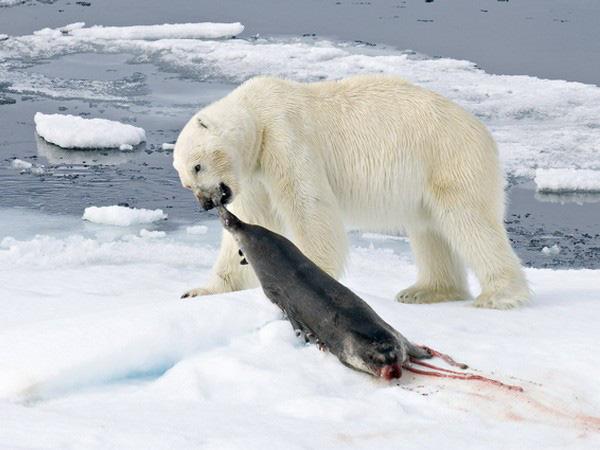 1001 thắc mắc: Bí mật gì sau bộ lông của gấu Bắc Cực? - Ảnh 2.
