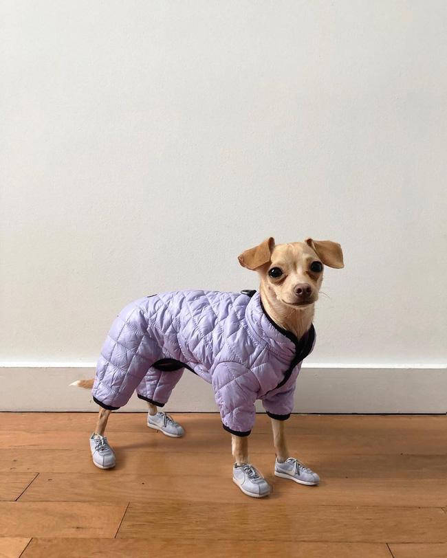Gặp gỡ chú chó Chihuahua sành điệu nhất thế giới:  Diện đồ hiệu như fashionista thực thụ và có gần 100.000 người hâm mộ trên mạng xã hội - Ảnh 1.