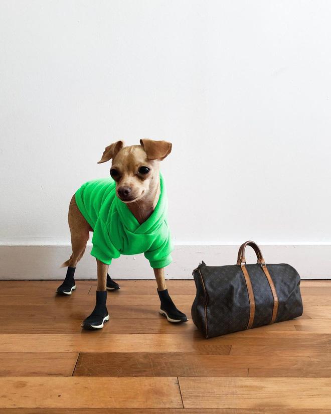 Gặp gỡ chú chó Chihuahua sành điệu nhất thế giới:  Diện đồ hiệu như fashionista thực thụ và có gần 100.000 người hâm mộ trên mạng xã hội - Ảnh 2.