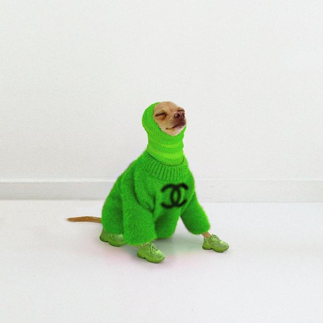 Gặp gỡ chú chó Chihuahua sành điệu nhất thế giới:  Diện đồ hiệu như fashionista thực thụ và có gần 100.000 người hâm mộ trên mạng xã hội - Ảnh 4.
