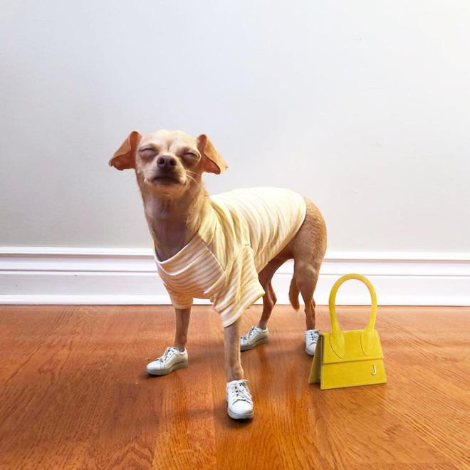 Gặp gỡ chú chó Chihuahua sành điệu nhất thế giới:  Diện đồ hiệu như fashionista thực thụ và có gần 100.000 người hâm mộ trên mạng xã hội - Ảnh 5.