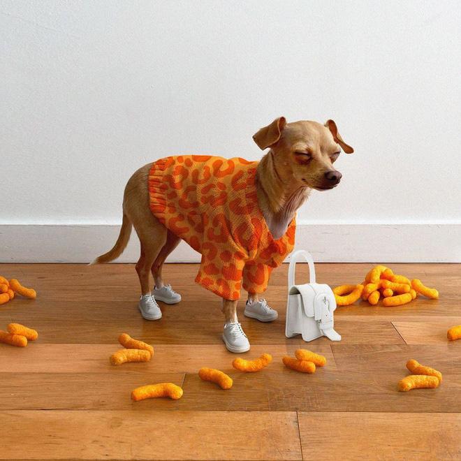 Gặp gỡ chú chó Chihuahua sành điệu nhất thế giới:  Diện đồ hiệu như fashionista thực thụ và có gần 100.000 người hâm mộ trên mạng xã hội - Ảnh 9.
