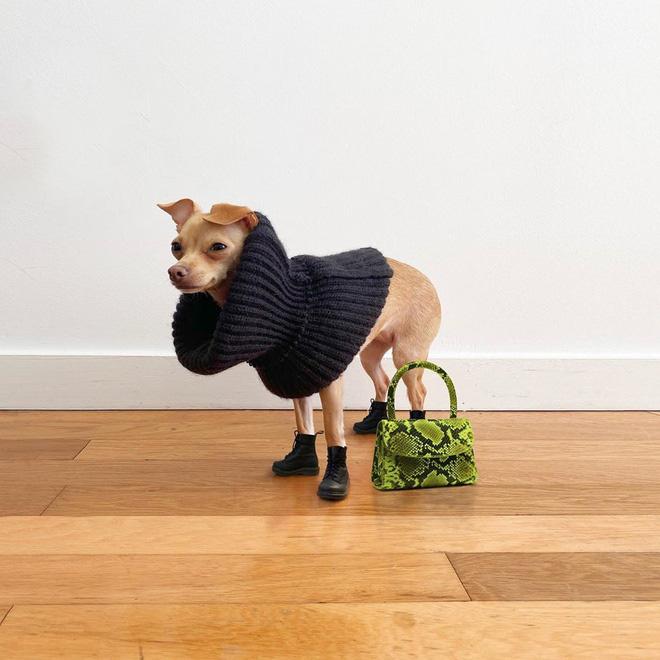 Gặp gỡ chú chó Chihuahua sành điệu nhất thế giới:  Diện đồ hiệu như fashionista thực thụ và có gần 100.000 người hâm mộ trên mạng xã hội - Ảnh 10.