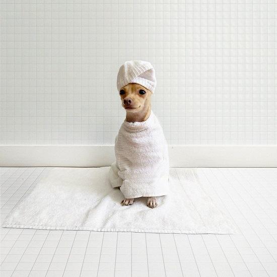 Gặp gỡ chú chó Chihuahua sành điệu nhất thế giới:  Diện đồ hiệu như fashionista thực thụ và có gần 100.000 người hâm mộ trên mạng xã hội - Ảnh 19.