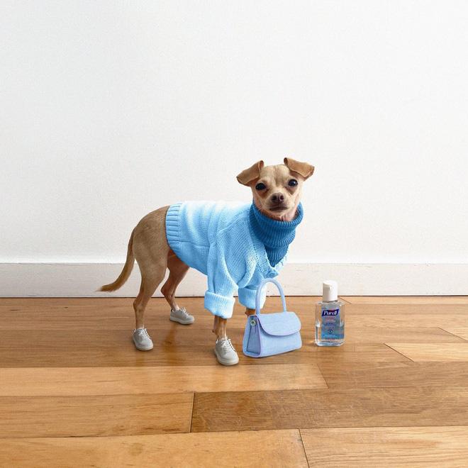 Gặp gỡ chú chó Chihuahua sành điệu nhất thế giới:  Diện đồ hiệu như fashionista thực thụ và có gần 100.000 người hâm mộ trên mạng xã hội - Ảnh 6.