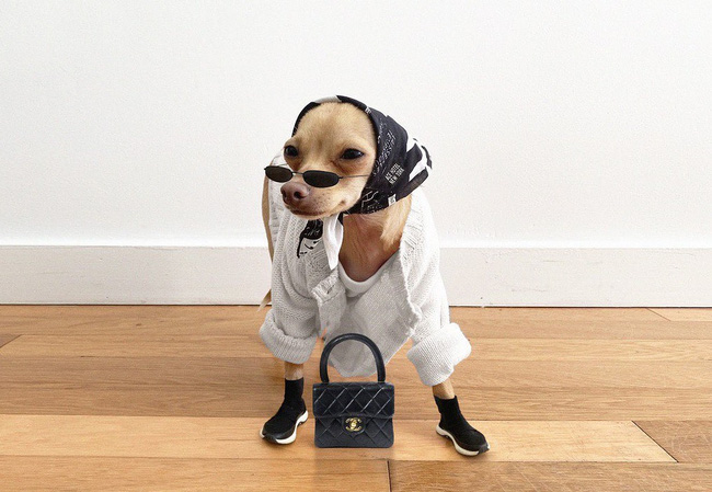 Gặp gỡ chú chó Chihuahua sành điệu nhất thế giới:  Diện đồ hiệu như fashionista thực thụ và có gần 100.000 người hâm mộ trên mạng xã hội - Ảnh 12.