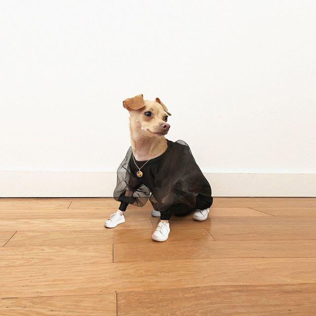 Gặp gỡ chú chó Chihuahua sành điệu nhất thế giới:  Diện đồ hiệu như fashionista thực thụ và có gần 100.000 người hâm mộ trên mạng xã hội - Ảnh 14.