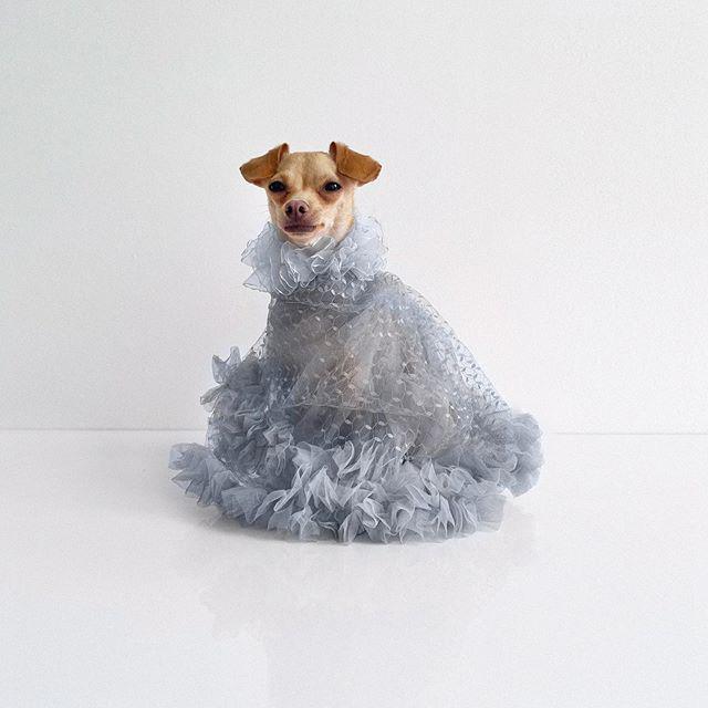 Gặp gỡ chú chó Chihuahua sành điệu nhất thế giới:  Diện đồ hiệu như fashionista thực thụ và có gần 100.000 người hâm mộ trên mạng xã hội - Ảnh 16.