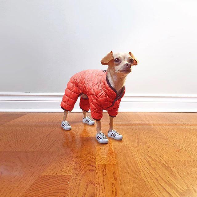 Gặp gỡ chú chó Chihuahua sành điệu nhất thế giới:  Diện đồ hiệu như fashionista thực thụ và có gần 100.000 người hâm mộ trên mạng xã hội - Ảnh 17.