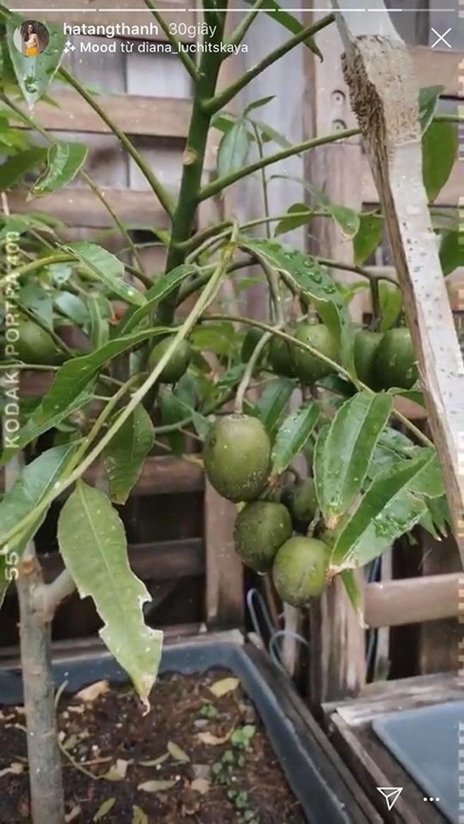 Loạt sao Vbiz hoá bác nông dân tự trồng trọt và chăn nuôi mùa dịch: Choáng nhất là khu vườn trong biệt thự 21 tỷ của Quyền Linh! - Ảnh 11.