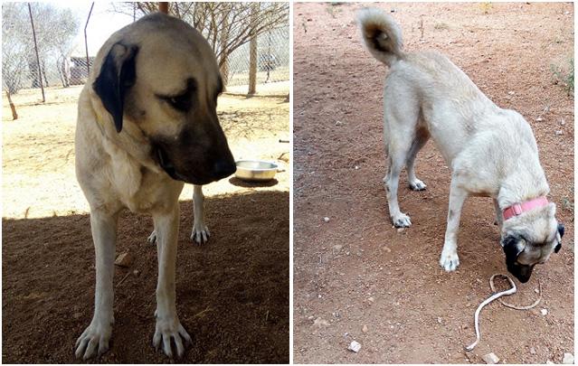 Rắn bị ba con chó chăn cừu Kangal to lớn cắn chết khi đi vào khu vực cấm - Ảnh 1.