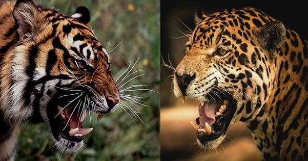 Hiếm thấy: Hai mãnh hổ phối hợp để săn báo hoa mai - Ảnh 1.