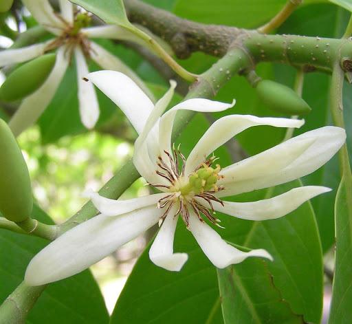 Trồng một cây hoa ngọc lan: Thơm - ngon - đẹp - Thật xứng danh là một kho báu trong vườn - Ảnh 4.