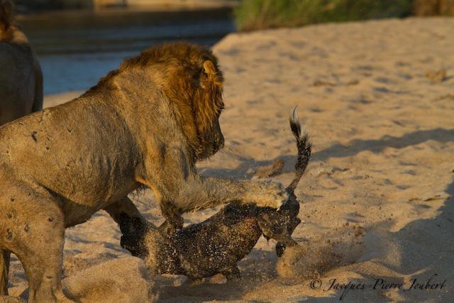Chó hoang bị cả bầy sư tử tóm được, kết cục không ngóc nổi đầu - Ảnh 1.