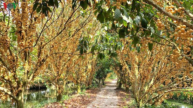 Những vườn dâu chín rụng nhưng chưa có thương lái tìm mua - Ảnh 3.
