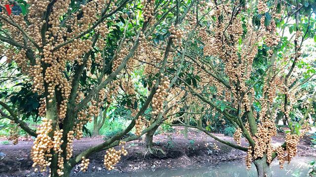 Những vườn dâu chín rụng nhưng chưa có thương lái tìm mua - Ảnh 4.