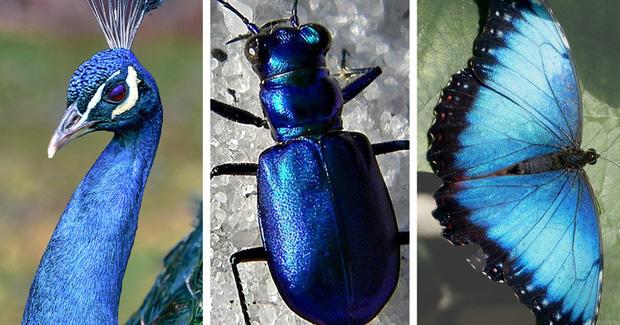 Chỉ tồn tại một loài vật duy nhất trên đời có màu xanh lam - vì sao sắc màu này lại hiếm đến vậy? Đây là câu trả lời - Ảnh 3.
