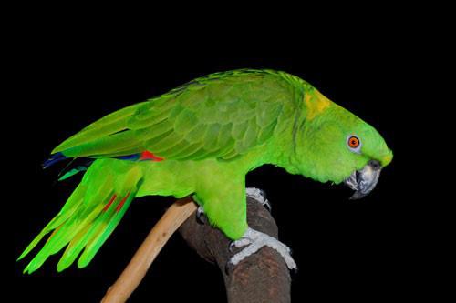 Loài nào có thể ghi nhớ và 'nhại' tiếng kêu của 20 loài động vật khác nhau? - Ảnh 3.