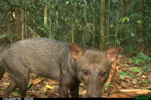Hình ảnh hiếm hoi của ma chó bí ẩn nhất vùng rừng rậm Amazon - ảnh 3