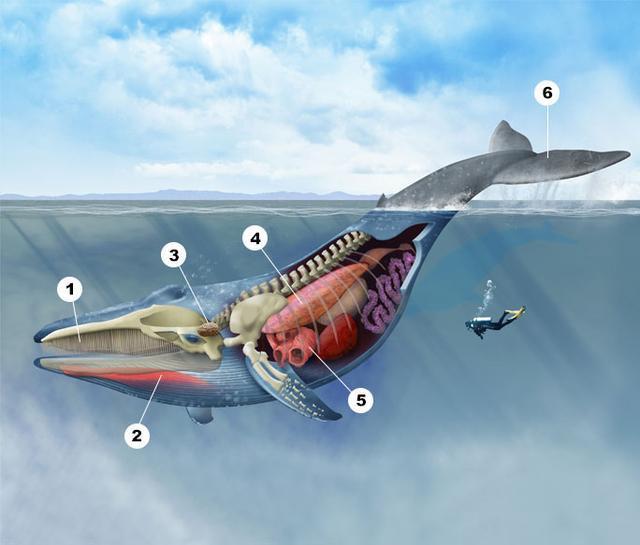 Tại sao xương vây của cá voi có năm ngón trông giống bàn tay con người? - Ảnh 1.