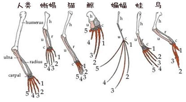 Tại sao xương vây của cá voi có năm ngón trông giống bàn tay con người? - Ảnh 4.