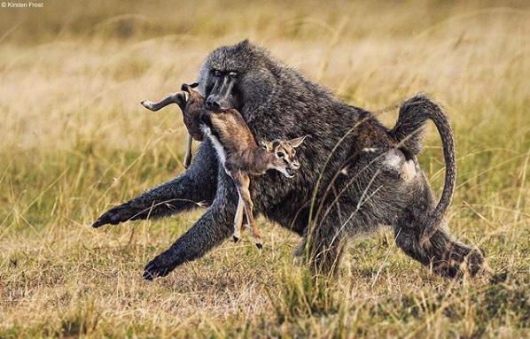Linh dương con vừa chào đời đã bị khỉ đầu chó tấn công, mẹ nó có cứu được con? - Ảnh 1.