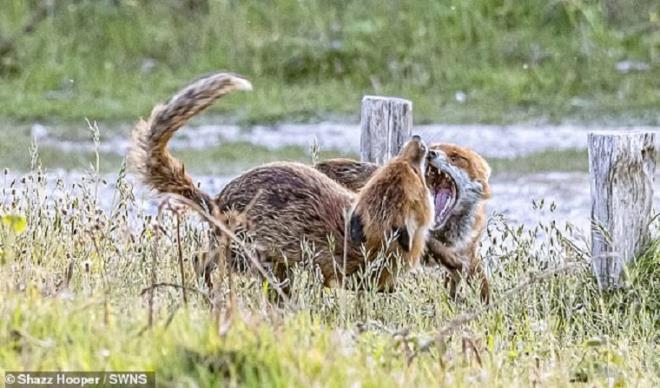 Cuộc tranh chấp quyết liệt nhưng không đổ máu của cặp cáo - Ảnh 1.