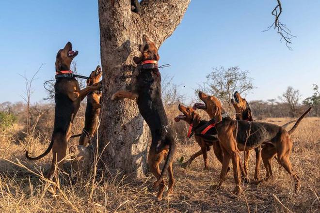 Chó được huấn luyện để bảo vệ động vật hoang dã đã cứu được 45 con tê giác khỏi những kẻ săn trộm - Ảnh 3.