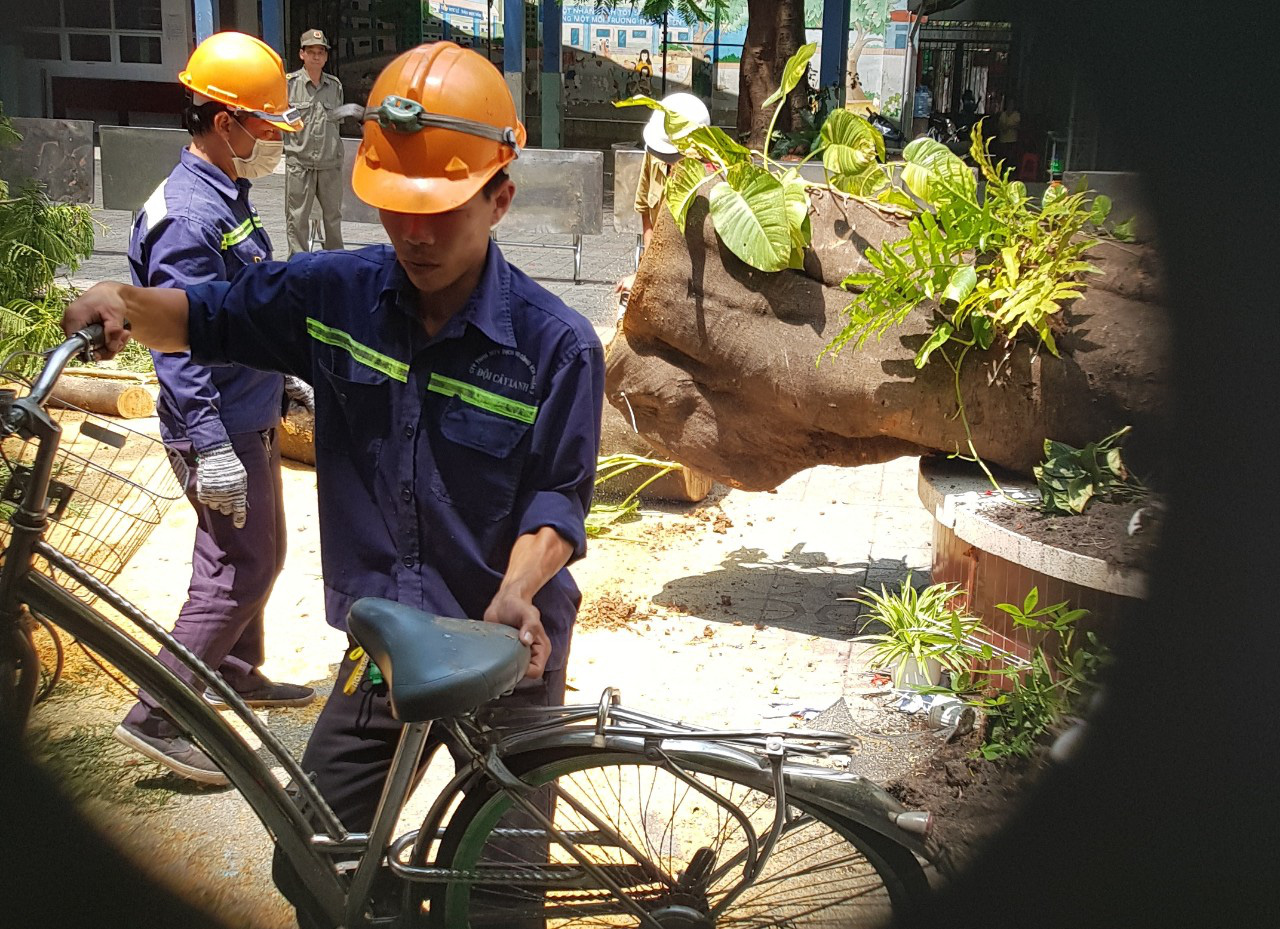 Cận cảnh gốc phượng vĩ mục ruỗng đổ gãy đè 13 học sinh thương vong ở Sài Gòn - Ảnh 8.