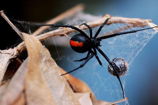 3 anh em tự cho con nhện độc nhất thế giới cắn để biến thành Spider-man - Ảnh 1.