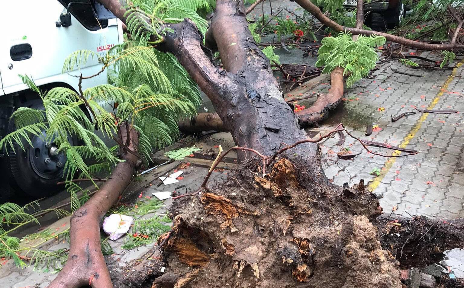 TP.HCM: Phượng vĩ lại bật gốc, đè xe tải sau trận mưa lớn kéo dài 30 phút
