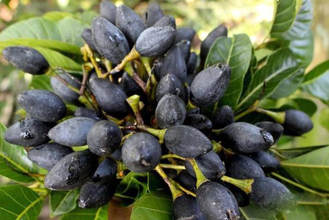 Có loại quả trông đen nhẻm, xấu xí nhưng ai biết cũng muốn mua ngay: Ăn 1 lần là nhớ suốt đời, trị được 15 loại bệnh vô cùng thần kỳ - Ảnh 1.