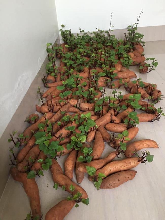 Tích trữ khoai lang giữa mùa dịch, nam thanh niên bất ngờ có rau lang xào tỏi tại gia mà chẳng cần đi chợ - Ảnh 2.