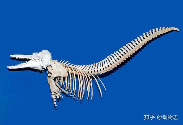 Tại sao cá voi vung đuôi lên xuống, nhưng cá mập lại vung đuôi sang hai bên? - Ảnh 5.