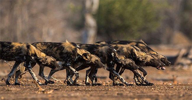 1001 thắc mắc: Vì sao chó hoang châu Phi được coi là 'thợ săn đỉnh nhất'? - Ảnh 1.