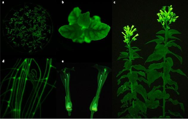 Các nhà khoa học Nga tạo ra giống thực vật ngoài hành tinh, có thể phát sáng rực rỡ trong bóng tối - Ảnh 5.