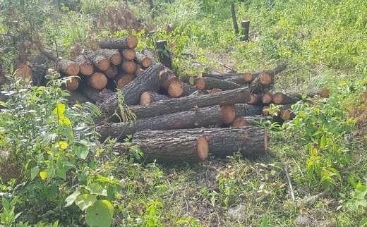 Nằm cách trụ sở Ủy ban xã chỉ khoảng 1km, rừng phòng hộ bị chặt phá tan hoang mà không được phát hiện