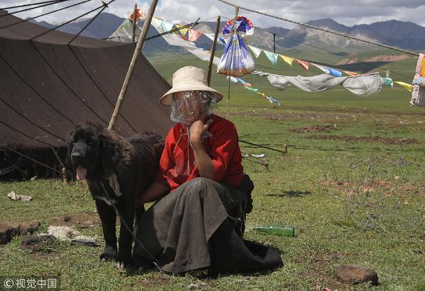 Câu chuyện buồn về cơn sốt chó ngao Tây Tạng: Từ thần khuyển chục tỷ đồng đến bầy chó hoang hàng vạn con bị ruồng bỏ - Ảnh 1.