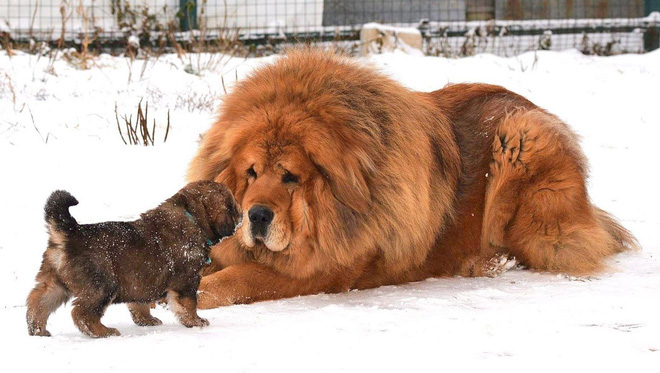 Câu chuyện buồn về cơn sốt chó ngao Tây Tạng: Từ thần khuyển chục tỷ đồng đến bầy chó hoang hàng vạn con bị ruồng bỏ - Ảnh 2.