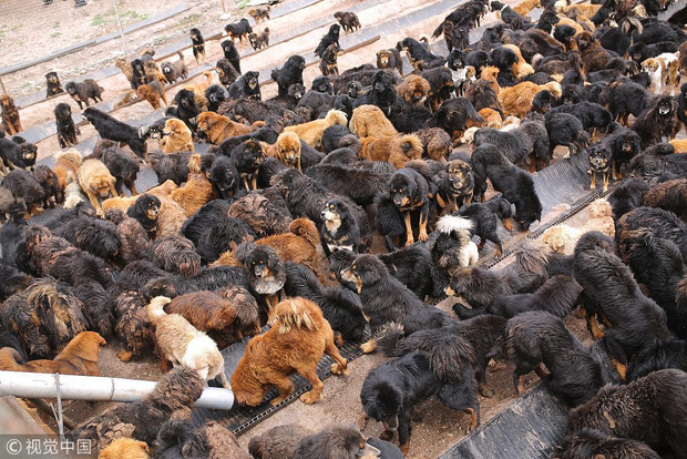 Câu chuyện buồn về cơn sốt chó ngao Tây Tạng: Từ thần khuyển chục tỷ đồng đến bầy chó hoang hàng vạn con bị ruồng bỏ - Ảnh 4.